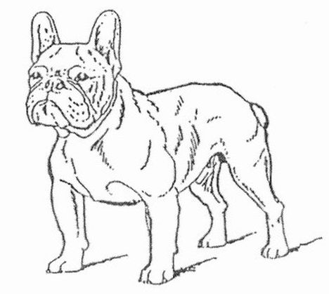 French Bulldog Coloring Pages 16